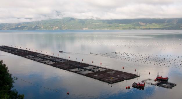 Washington State Senate votes to ban farming of Atlantic Salmon