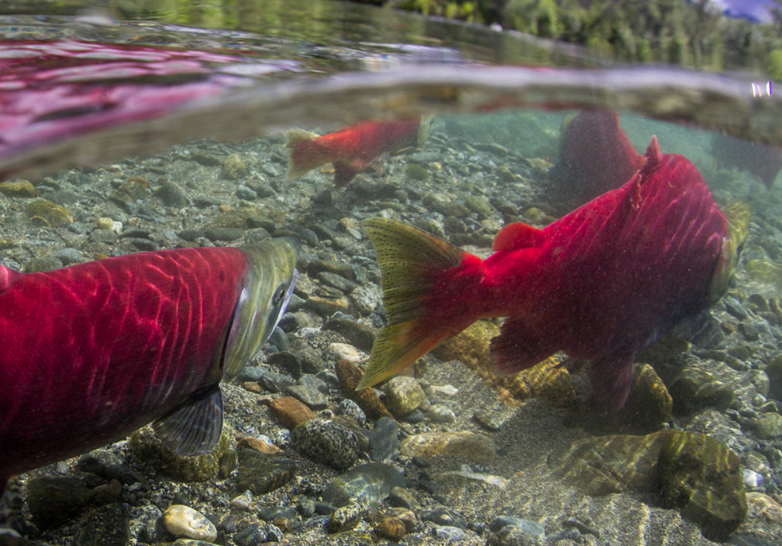 What would fly fishing be without sea-run fish?