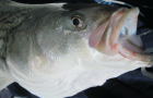 VA proposal for tighter oversight of recreational striped bass catch dies