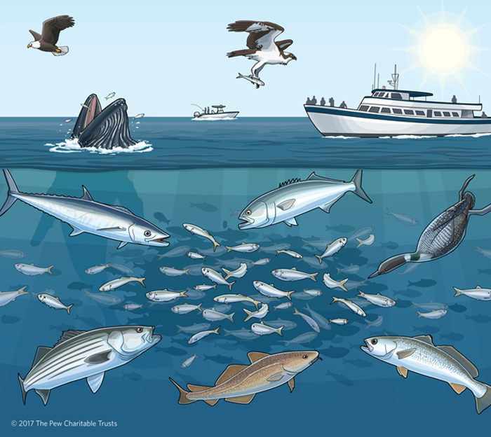 Keeping the New Cap on Menhaden Fishing – Crucial