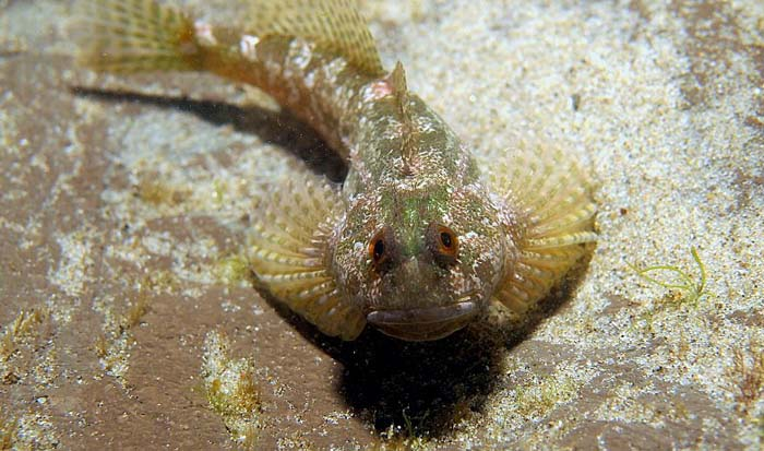 Sculpin with a track record