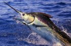 The IGFA and Wild Oceans rescue the stallions of the oceans