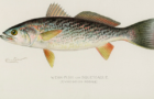 Where have all the weakfish gone?