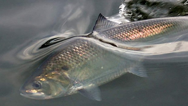 American shad return to NJ river after 173 years