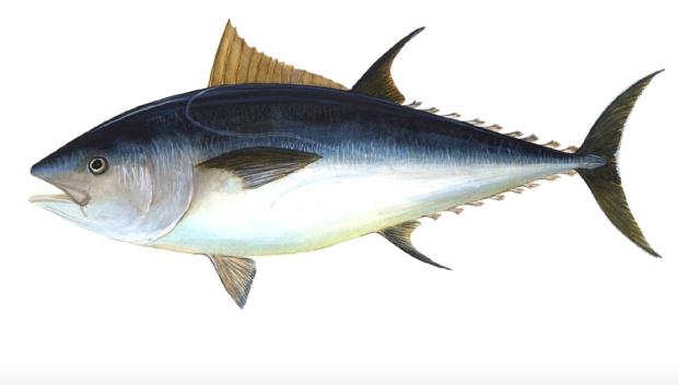 Atlantic bigeye tuna is approaching collapse