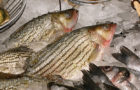 First Canadian striped bass fishery in 20 years makes a splash