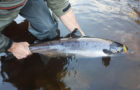 The Impearled Atlantic Salmon, NOAA, ASF, and Greenland