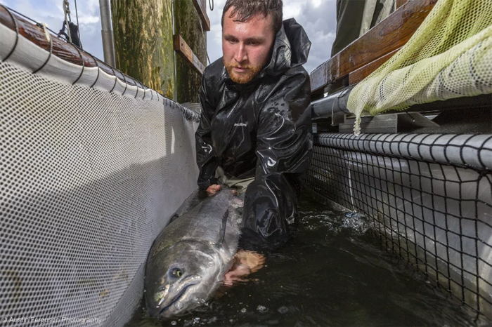 A sustainable fishery is active on the Columbia River