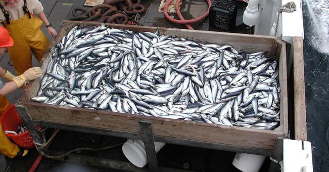 """Sea herring """"Buffer Zone"""" bans mid-water trawl gear nearshore"""