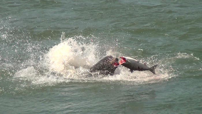 Salmon and sea lions: the predation needs to stop