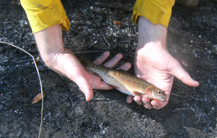 What happens to the Salmonidae after a wildfire?