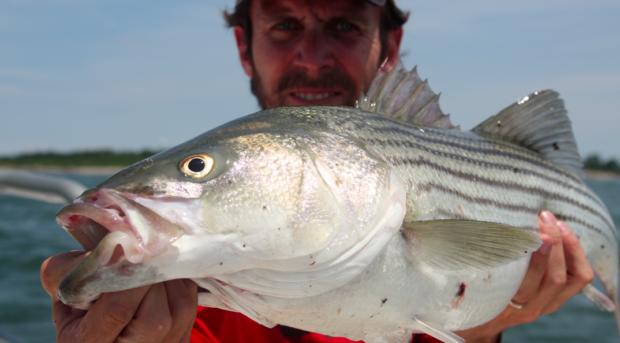 Massachusetts proposal to reduce striped bass mortality