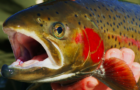As runs dwindle, experts say Idaho's salmon, steelhead 'could be gone in a generation'