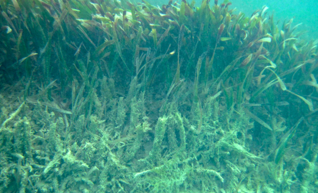 Nearly all the seagrass in Biscayne Bay is dead.