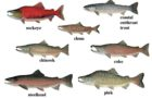 Unexpected cooling ocean waters lead to more salmon