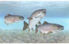 Blueprint needed for saving wildlife, Atlantic Salmon