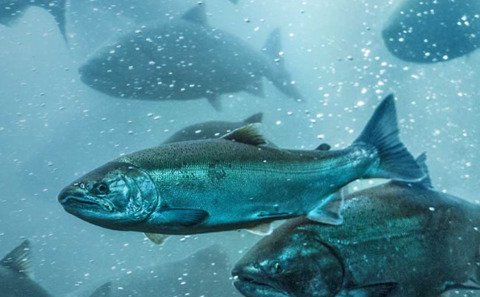 One Pacific salmon out of 100 survives the ocean