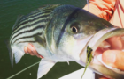 Striped bass fishing season could be canceled in Virginia as population declines