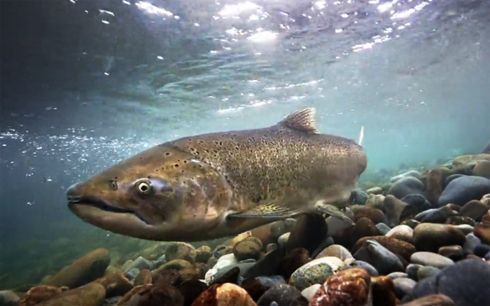 Road culverts can be deadly salmon barriers