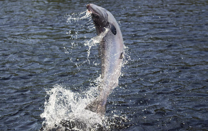 Salmon reports good for NL and parts of Europe