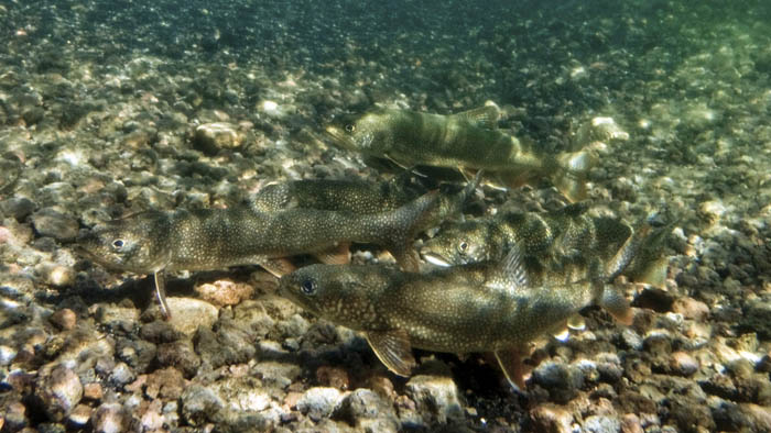 Invasive Lake Trout can have widespread impacts