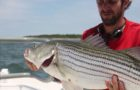 Striped bass decline spurs new look at mycobacteria