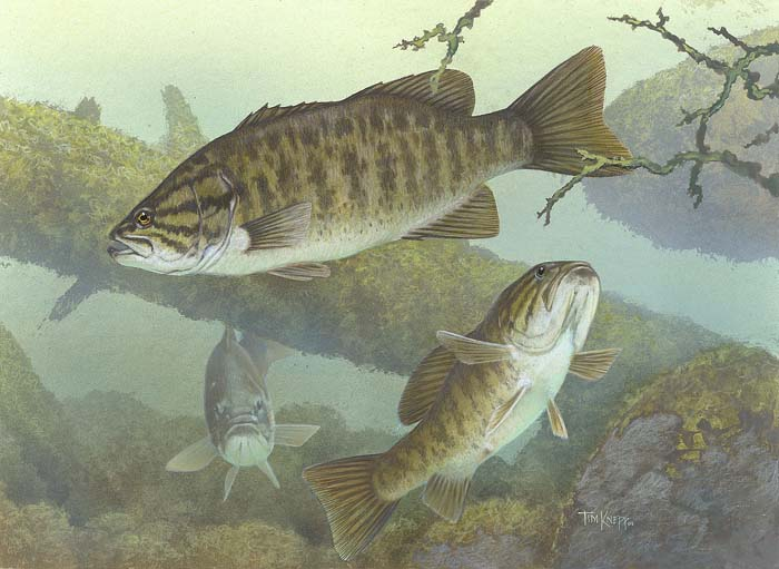 It's time to catch Micropterus dolomieu. Make mine hellgrammites on #4s