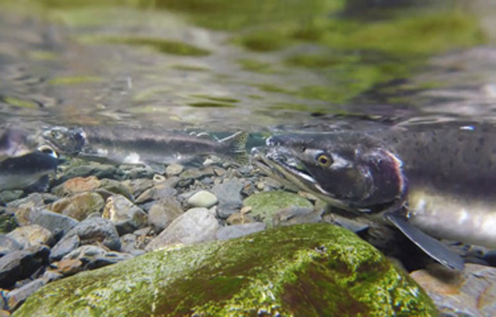 Hatchery salmon spawning with wild salmon produce weaker offspring