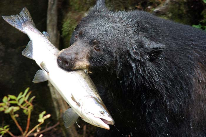 Tongass salmon forest scheduled to become wood chips