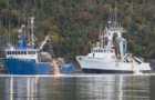Open net pens fail, again, and Atlantic salmon rot and stink up NL shoreline