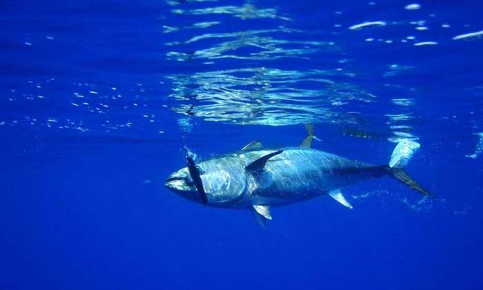 """Science knows how to sustain big tuna stocks, but some nations """"really"""" don't care"""