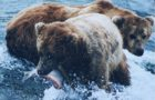 The evolutionary links between grizzlies and salmon are life or death