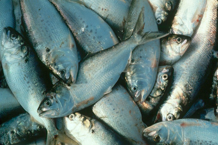 Virginia's menhaden fishery plunderers, Omega Protein, slapped on wrist