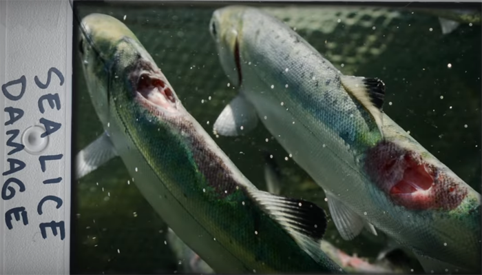 Hatcheries are political pork; salmon farms spawn sea lice, excrement galore – Bon Appétit