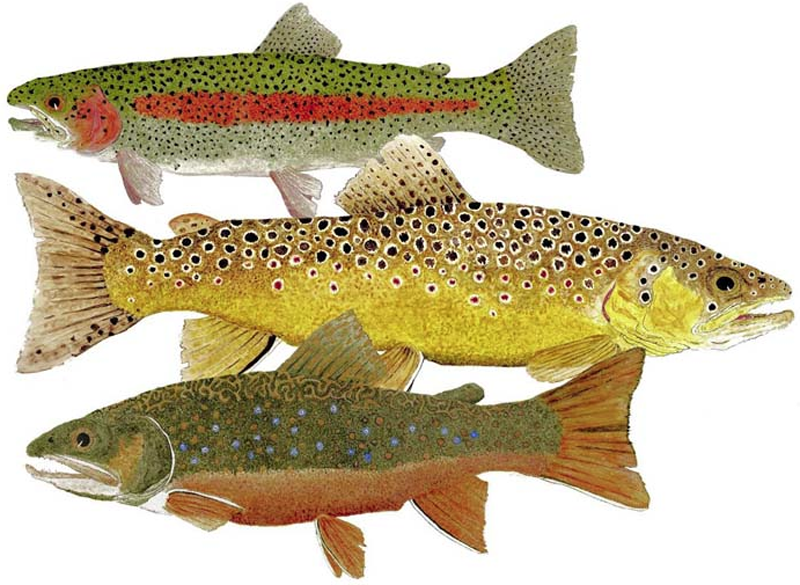 Climate warming is crushing U. S. trout and their habitats