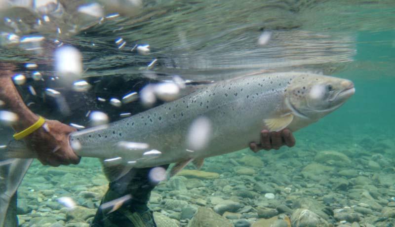 Aiding and abetting the extinction of wild Atlantic salmon, a shameful environmental blunder