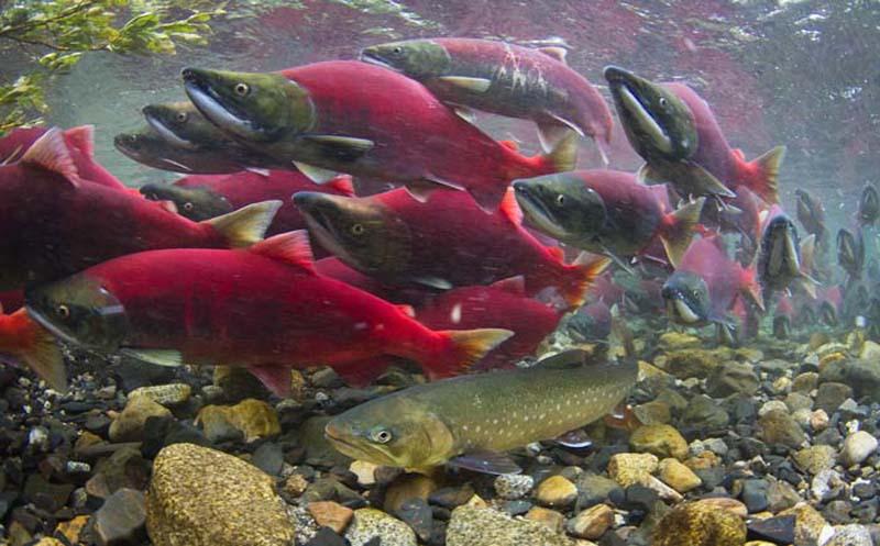 As an Obama retribution, Trump puts Alaska's world-class salmon fishery at risk