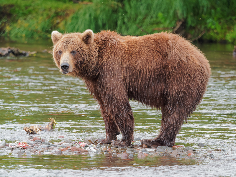 Fly fishing with bears and keeping safe. Bring a gun?
