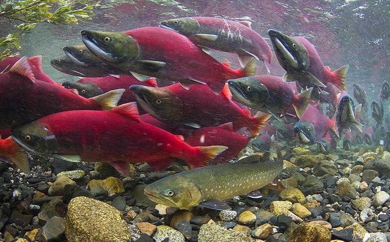 Conservation News: Trump, an environmental adversary set to yield on Pebble Mine