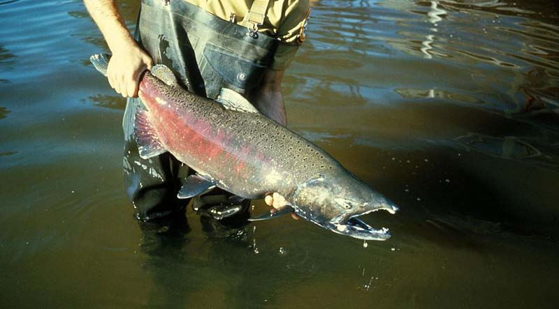 Verboten for 100 years, genome science could restore big chinook runs in ten