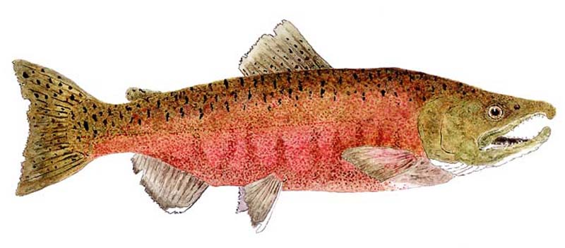 Male Chinook (King) Salmon in spawning colors. Art provided courtesy of Thom Glace.