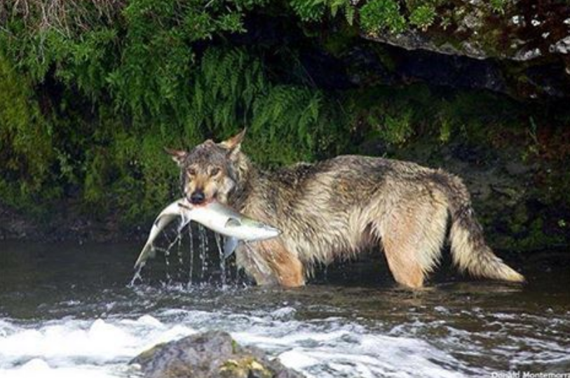 Rare Video Catches Wolf Salmon fishing at Brooks Falls in Katmai National Park and Preserve
