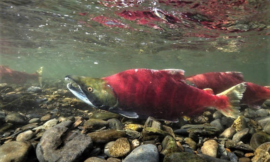 "An Alaskan sockeye ""seed source,"" critical to species survival, discovered in Pebble Mine watershed"