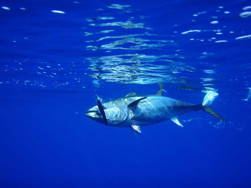 "Science knows how to sustain big tuna stocks, but some nations ""really"" don't care"