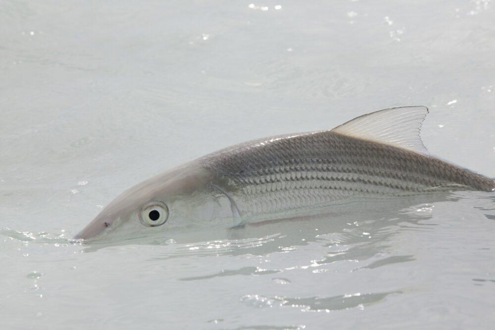 Conservation News: BTT is Honing in on Elusive Keys Bonefish Spawning Sites