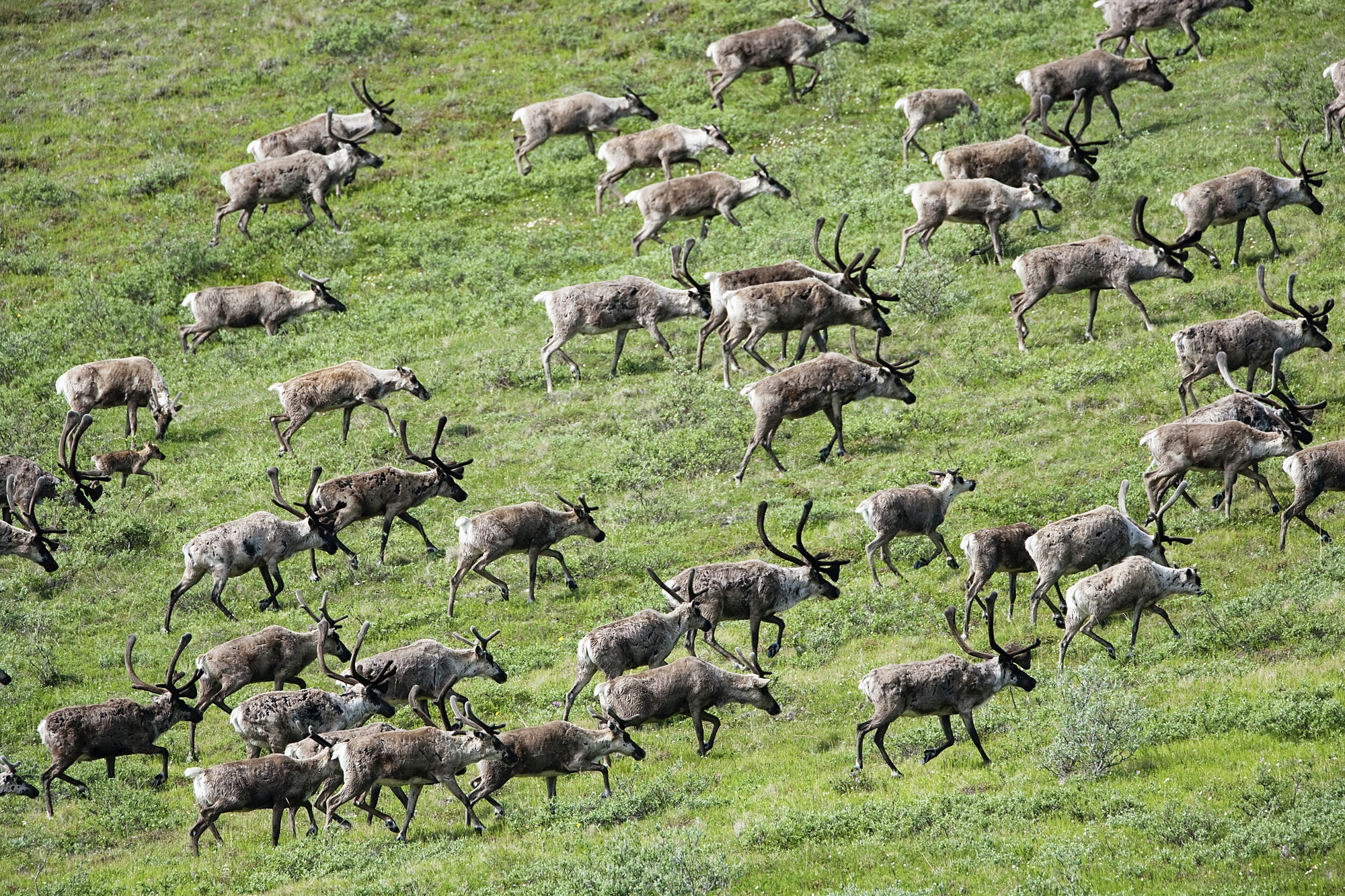 Caribou, Arctic National Wildlife Refuge, Alaska, USA
