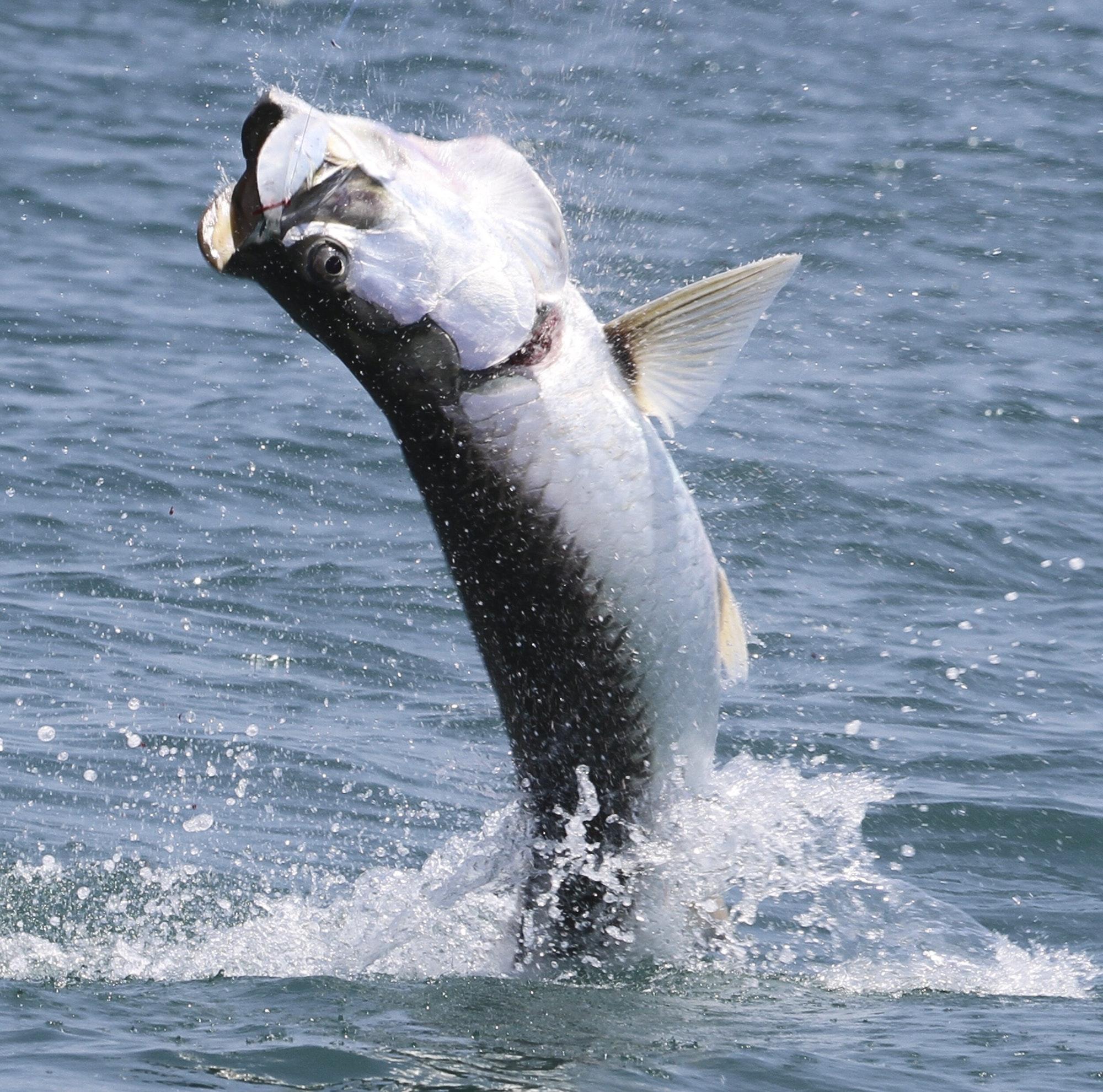 Tarpon fishing, fish jumping
