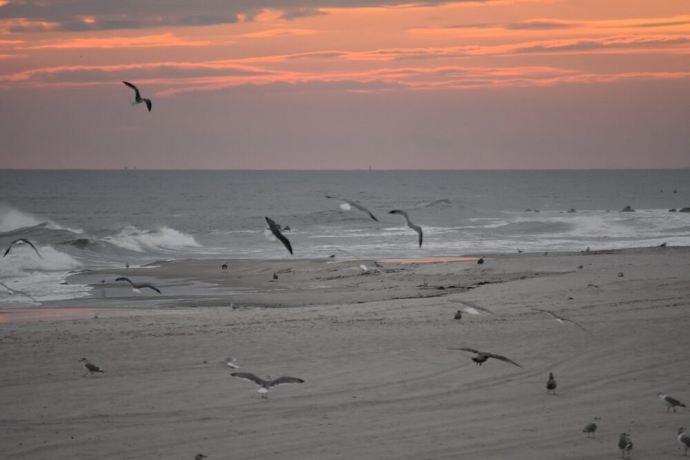 Seagulls gliding on the wind and dodging the surf and waves during a glorious sunset on Long Island
