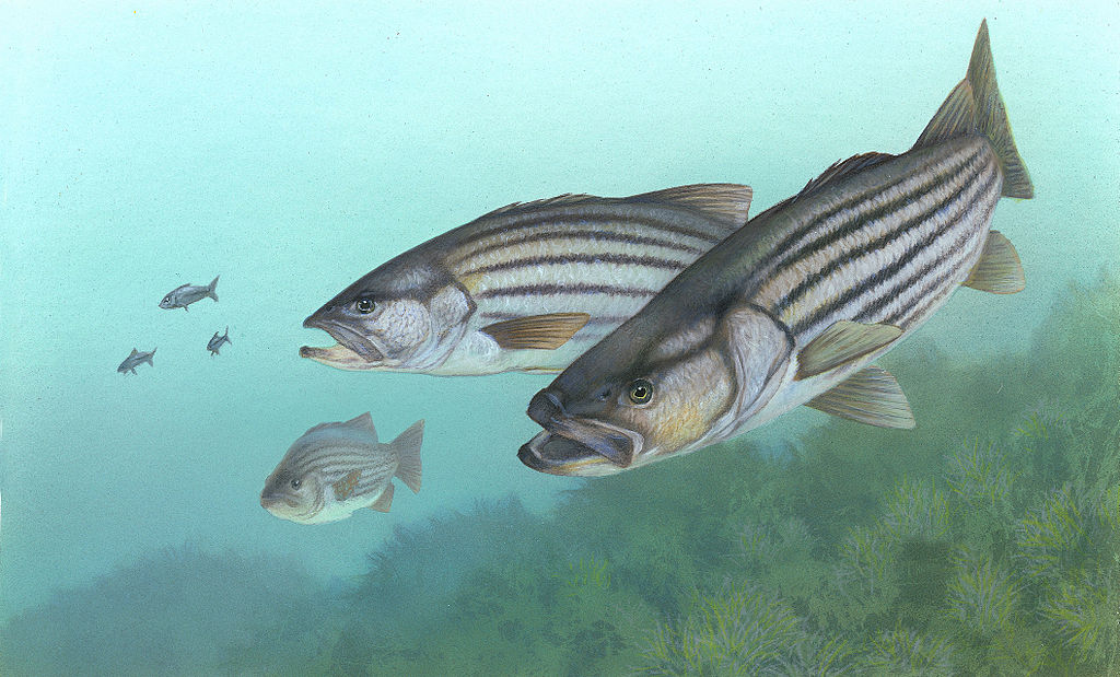 With the Atlantic striper fishery at stake, the worst of our kind show their faces