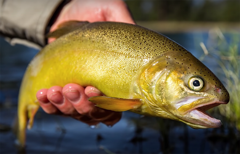 Trout in Trouble: The Impacts of GW on Trout in the Interior West